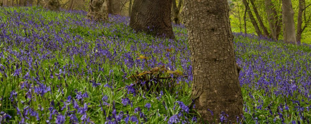 Bluebells at Painshill