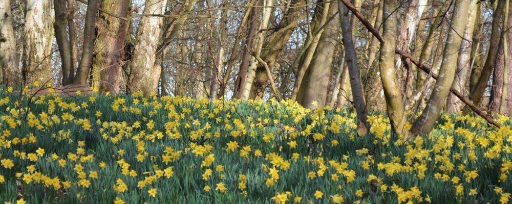 Daffodills at Painshill