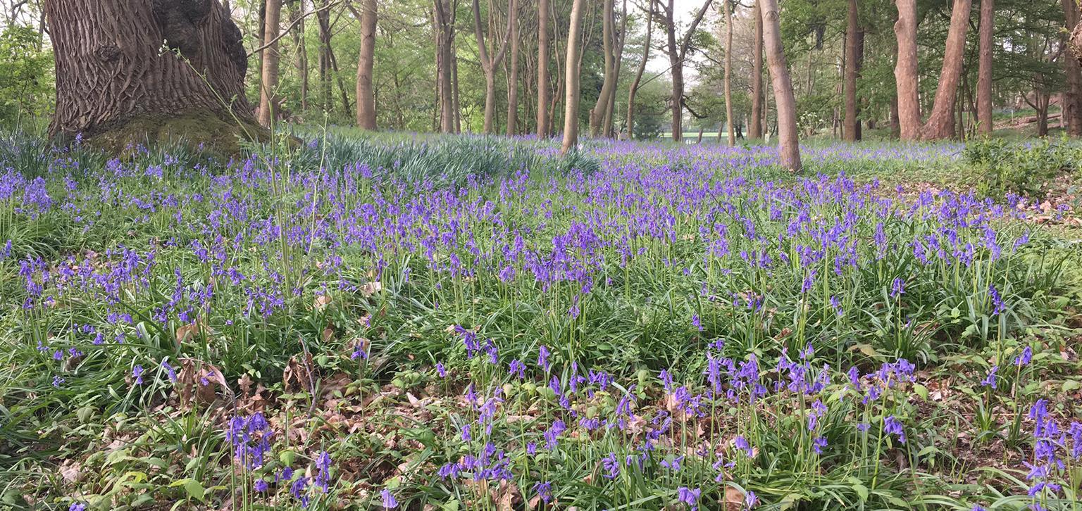 Bluebells in woods spring
