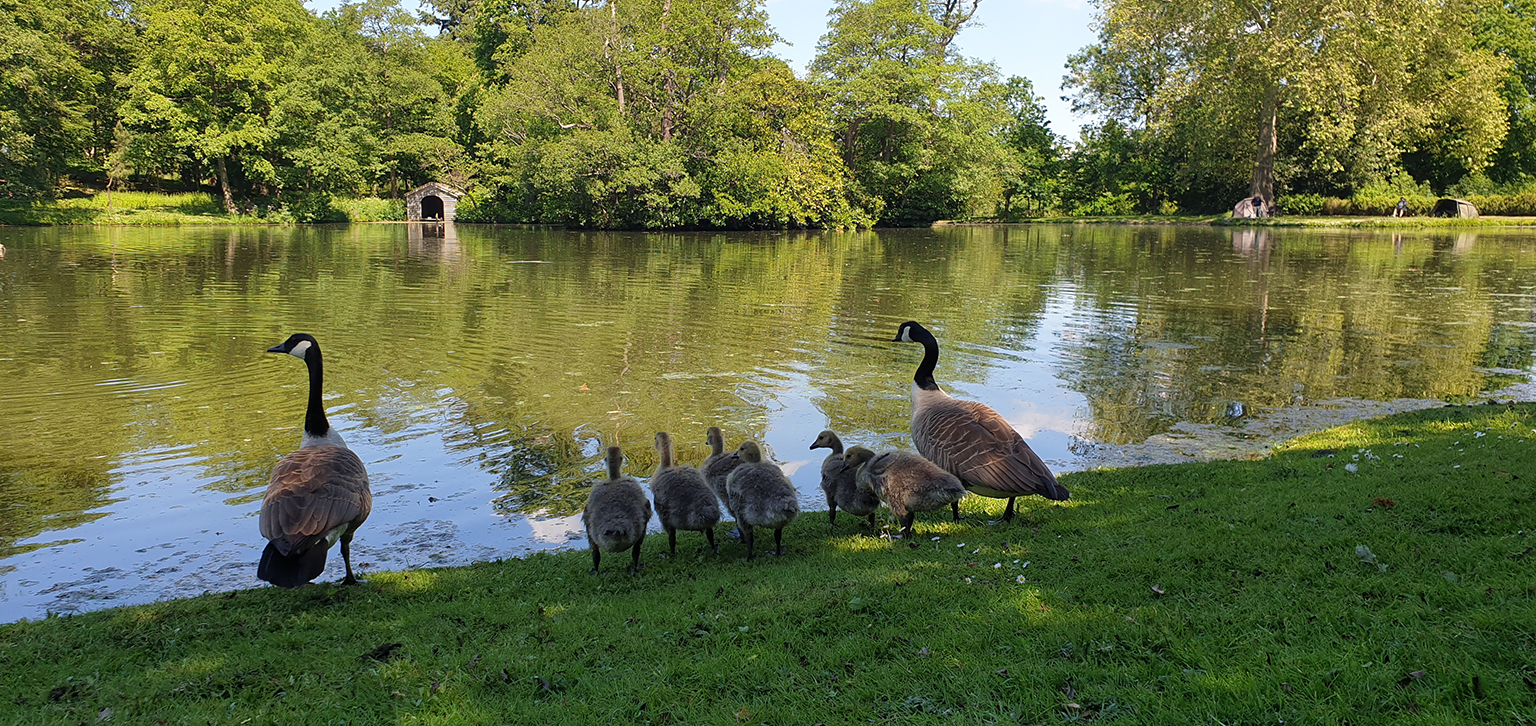 Canada Geese by Lake Spring