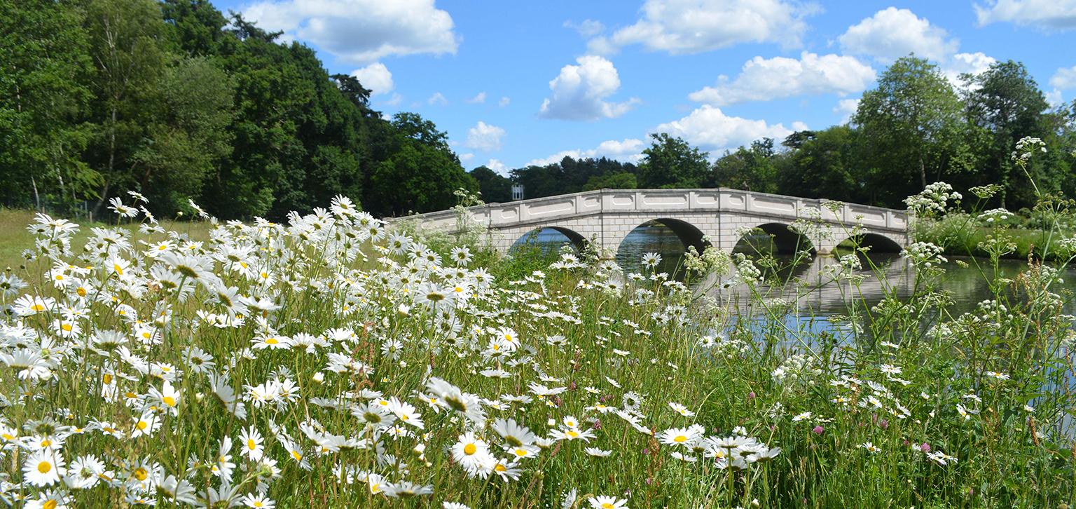 Daisys in Summer
