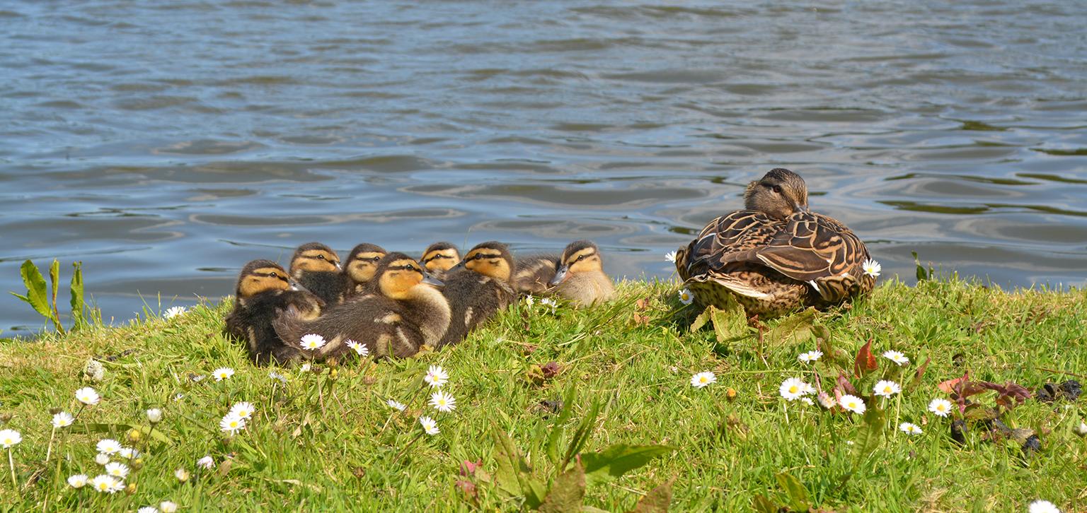 Ducklings Spring