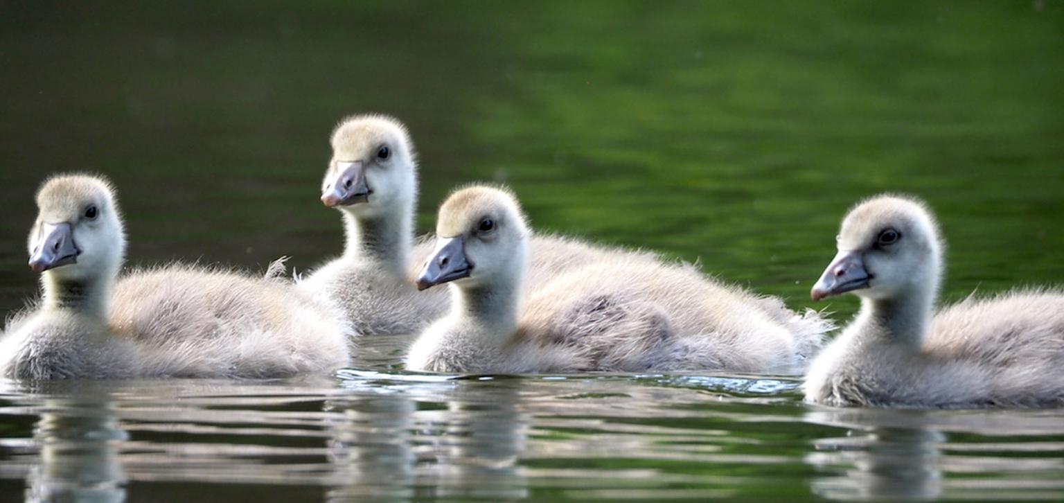 Goslings spring