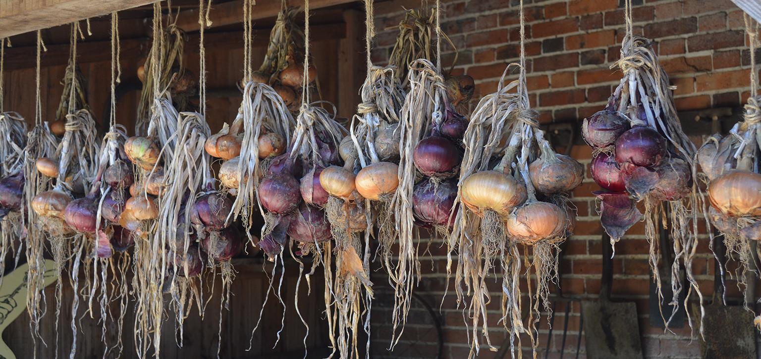Onions in autumn
