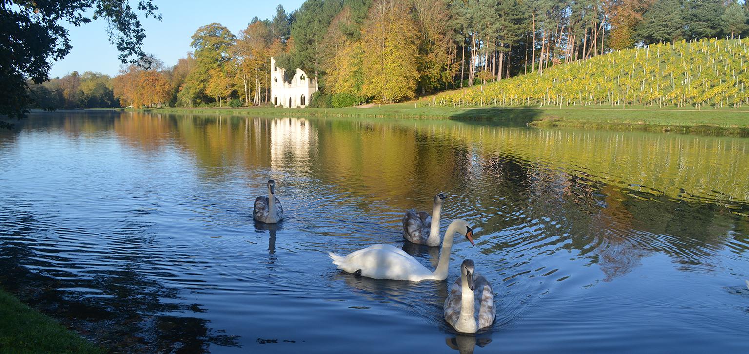 Swans in Autumn
