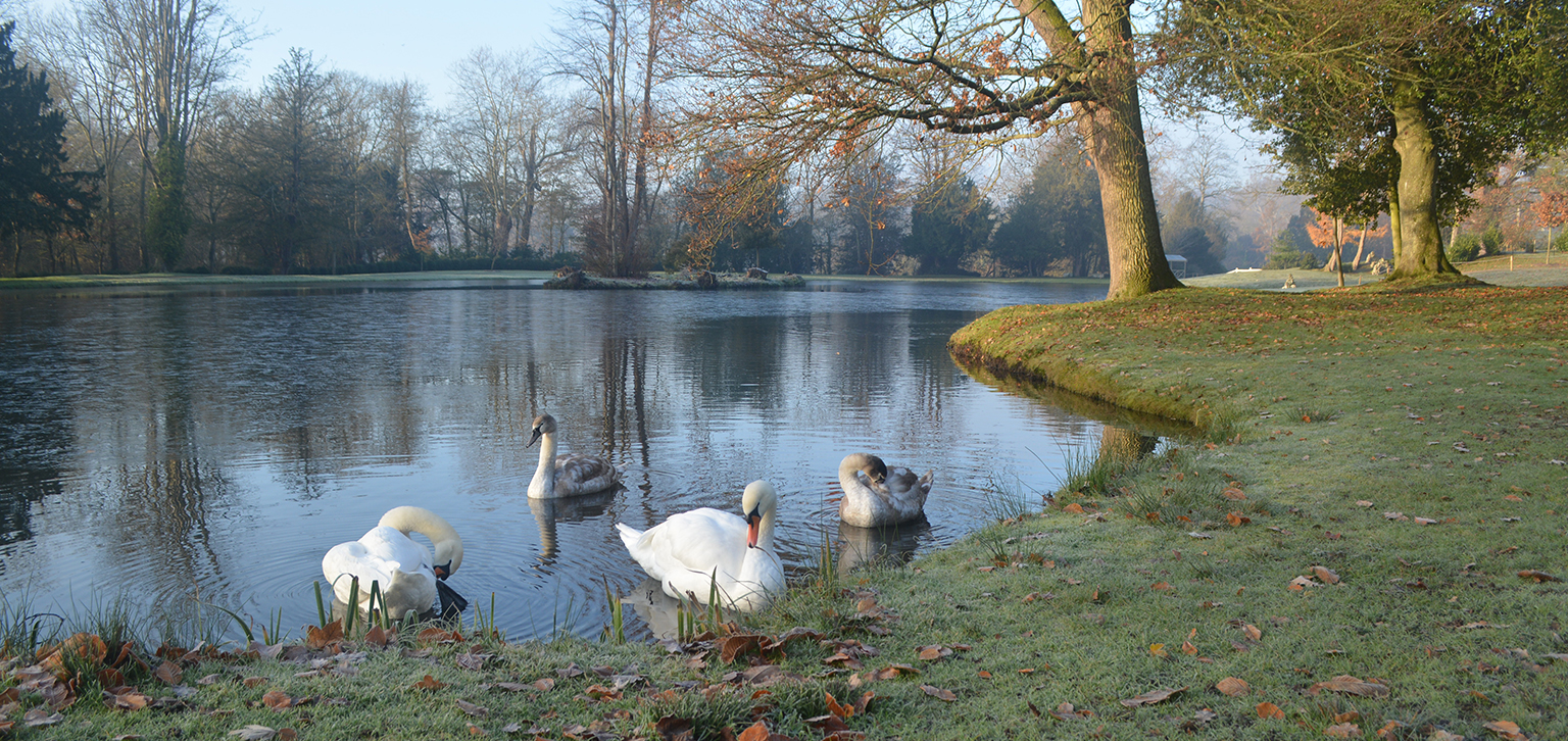 Swans on lake in winter