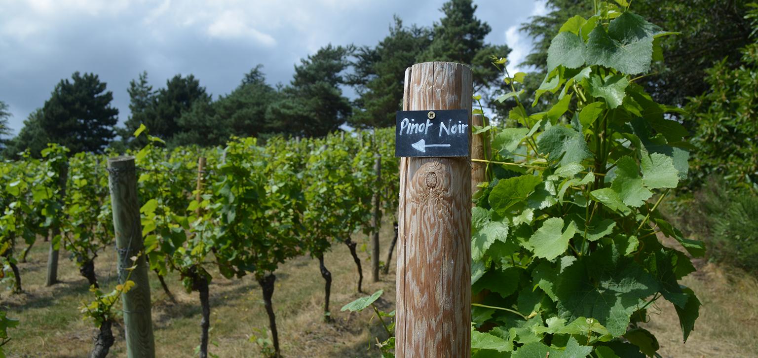 Pinot Noir at Painshill