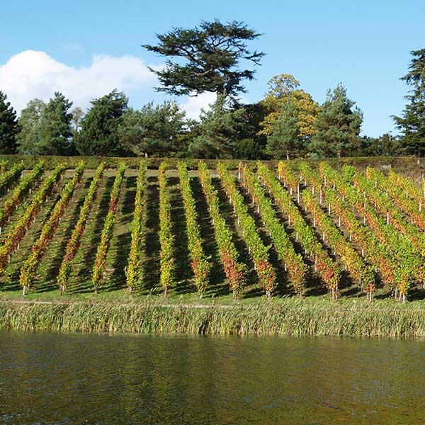 Vineyard after